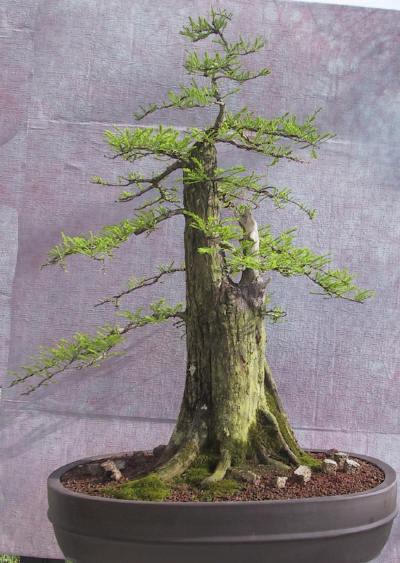 Bons i karamatsu cipr s calvo taxodium cuidados verde for Como cultivar bonsais